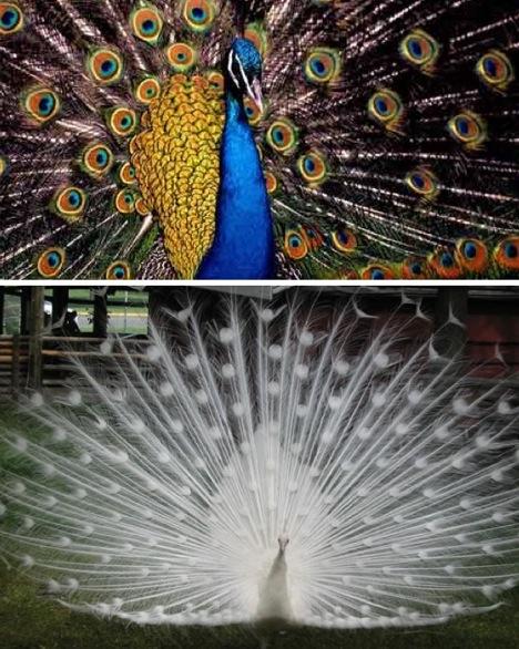 whiteandbluepeacock.jpg